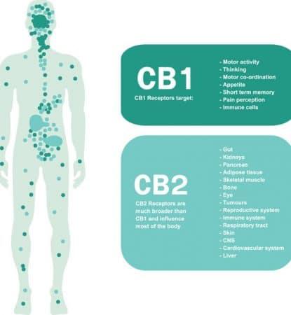 CBD oder Cannabidiol